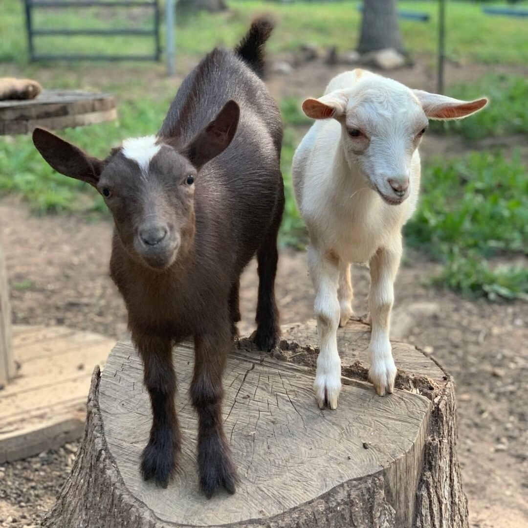 Shady Acres Farm NC, Nigerian Dwarf Goat Kid, Nigerian Dwarf Goat for sale, Nigerian Dwarf Goats North Carolina, Nigerian Dwarf Goats NC, Nigerian Dwarf Goats Thomasville, Goats for sale North Carolina, Goats for sale, Goats for sale Thomasville, ADGA registered
