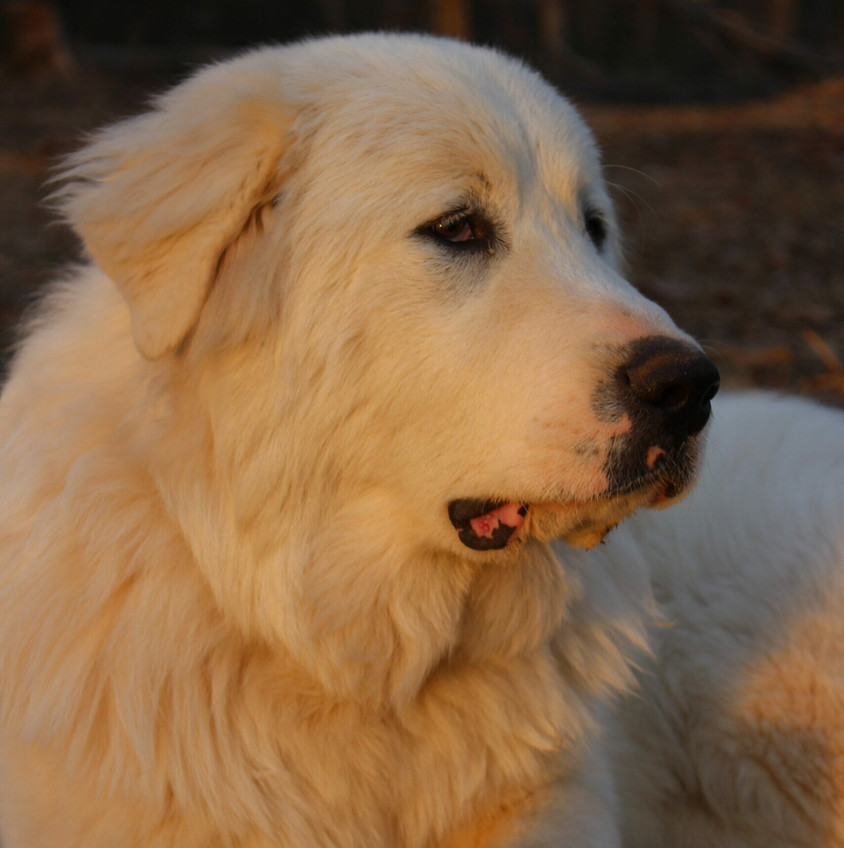 Great Pyrenees for Sale NC, Shady Acres Farm NC, Great Pyrenees Thomasville North Carolina, livestock guardian dog, Great Pyrenees North Carolina for Sale, Great Pyrenees for sale