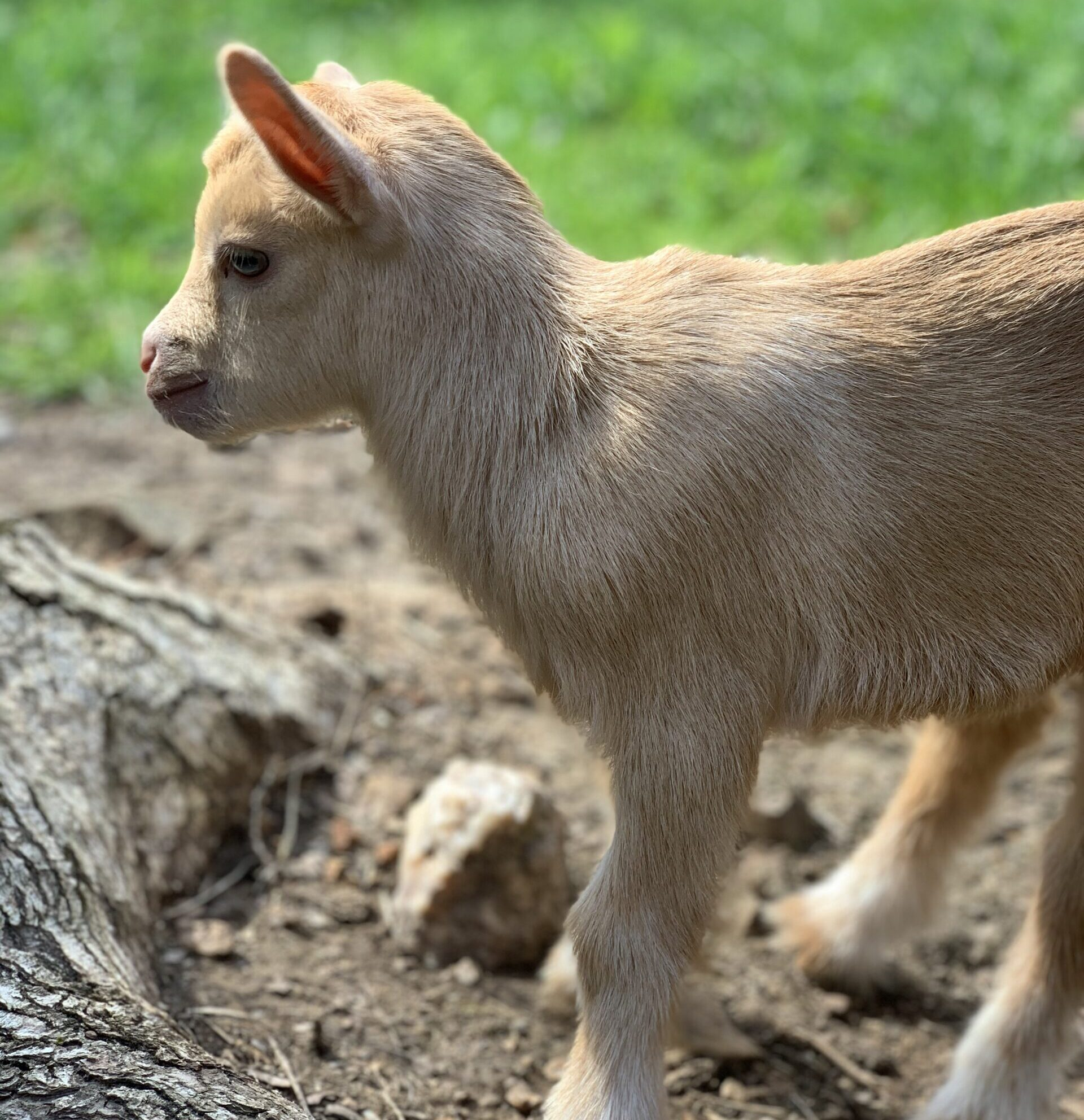 Shady Acres Farm NC, ADGA registered, Nigerian Dwarf Goat Kid, Nigerian Dwarf Goat for sale, Nigerian Dwarf Goats North Carolina, Nigerian Dwarf Goats NC, Nigerian Dwarf Goats Thomasville, Goats for sale North Carolina, Goats for sale, Goats for sale Thomasville