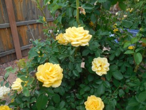 April Yellow Rose