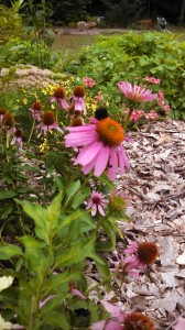 This 'Little Annie' purple coneflower is another Proven Winners plant.