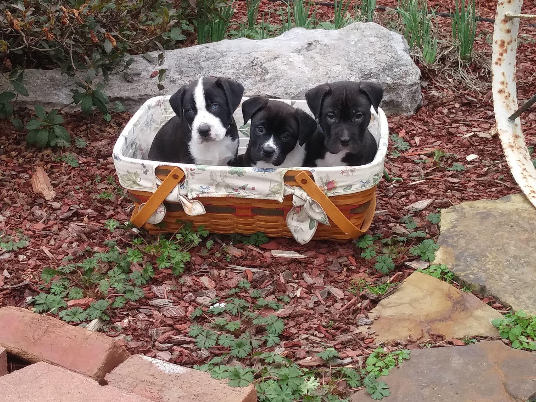 Daisy (l) Ruby (c) Cooper (r)