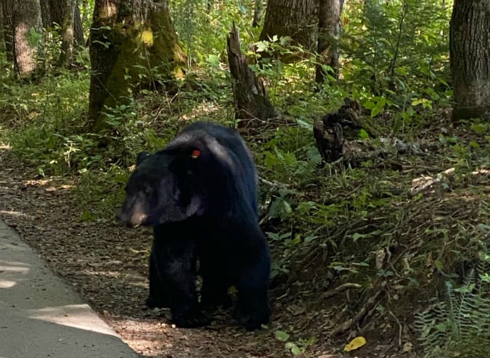 Bear in Cades Cove at the Great Smoky Mountains NP on Travel with Terri