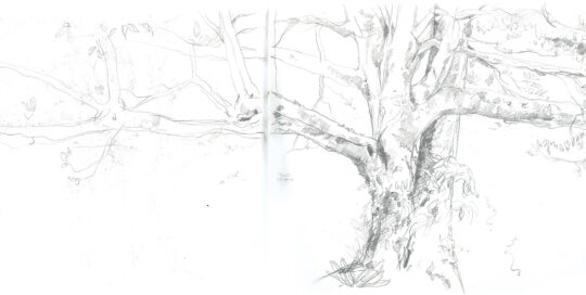 fig tree at the Ayurveda House, Kyogle | pencil, canson journal