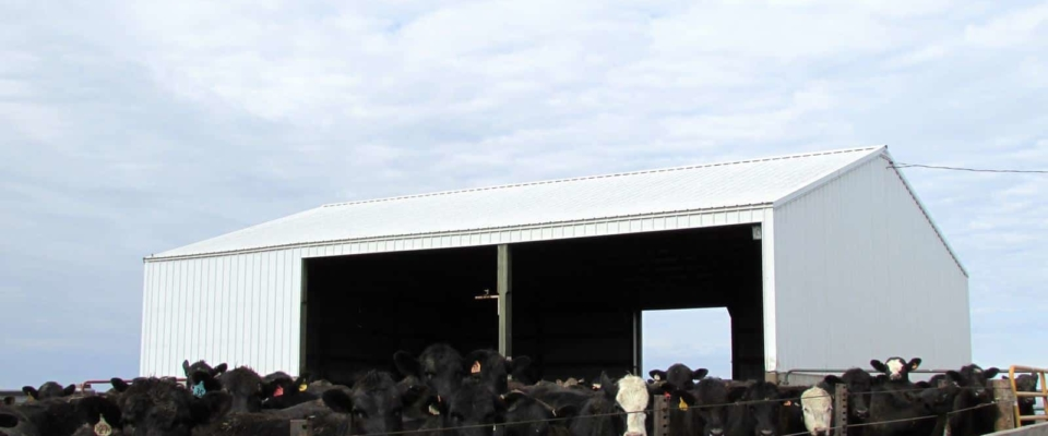 white cattle shed builder in iowa
