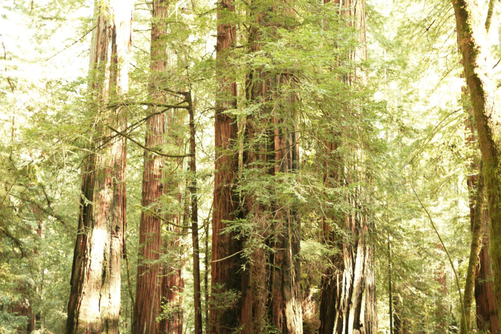 Banner SA Redwoods