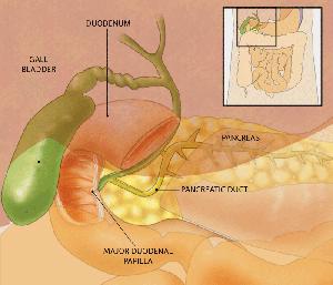 PanDunctsLiver Diagram