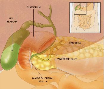 Gallbladder, Intestines and Pancreas Diagram