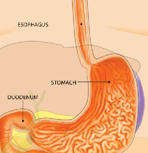 Stomach Diagram