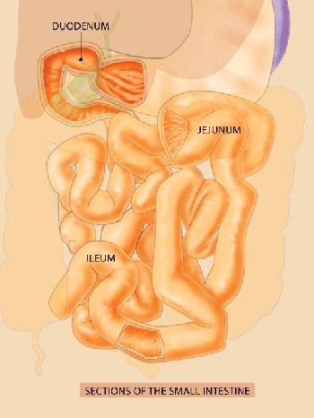 Small Bowel Diagram