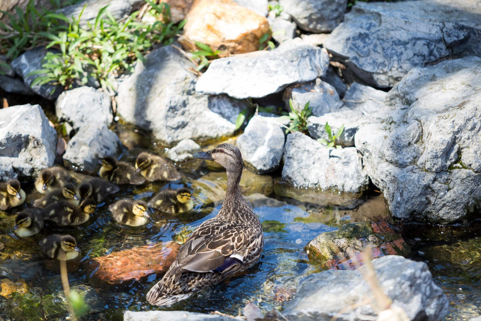 During US lunch, mother duck and her chicks ventured forth from the courtyard to their new home in the wider world.