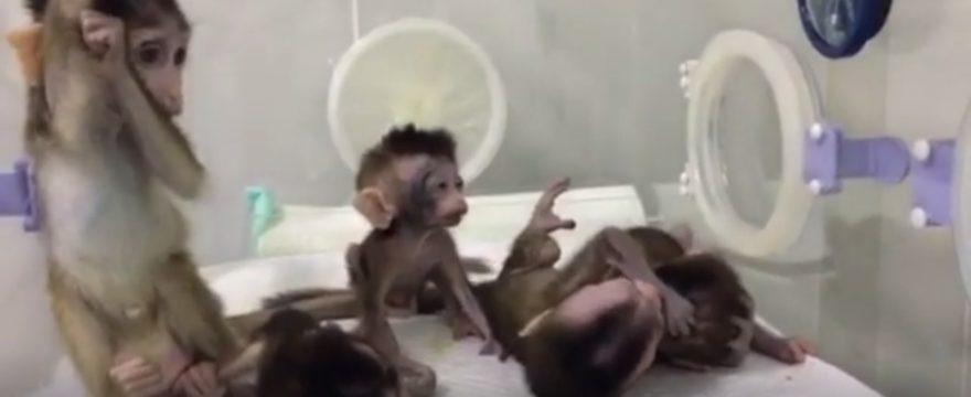 Gene-edited disease monkeys cloned in China (VIDEO)
