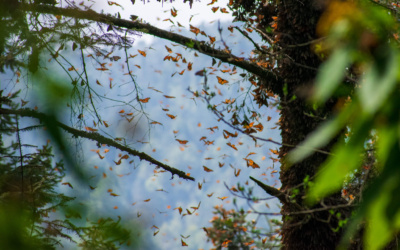 Experiencing the Monarch Butterfly Migration in Mexico