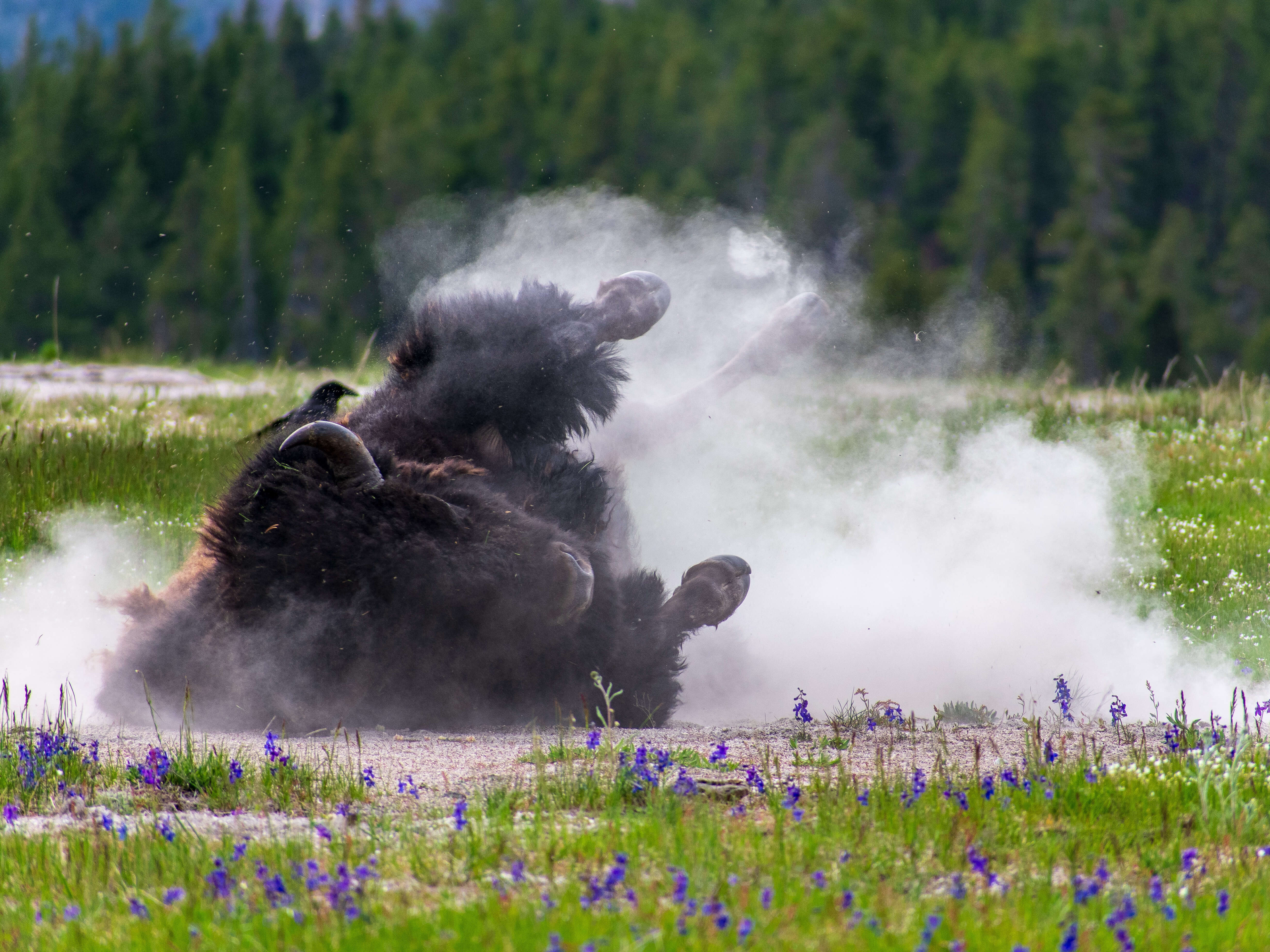 Buffalo rolling on side with dust