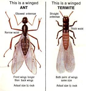 Ant-Termite