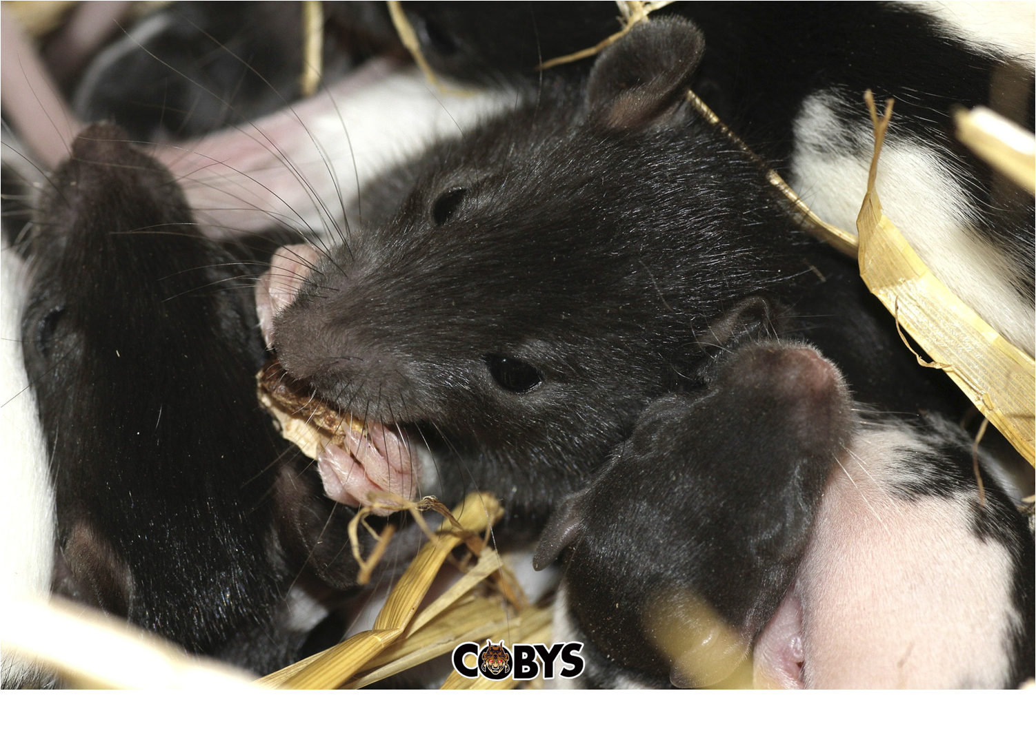 Rats With Fleas Present Double The Trouble Coby S Pest Control