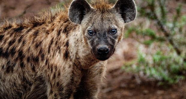Hyena Hunting Its Prey