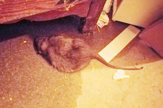 Giant Rat Under Bed