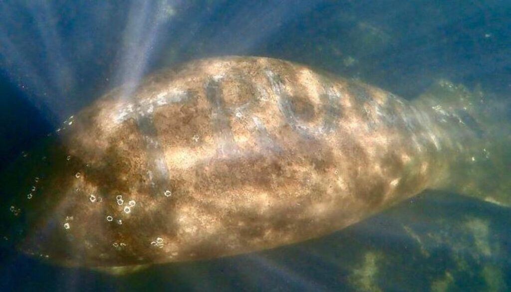 "Manatee With Word ""TRUMP"" Carved Into Its Skin Surfaces in Florida"