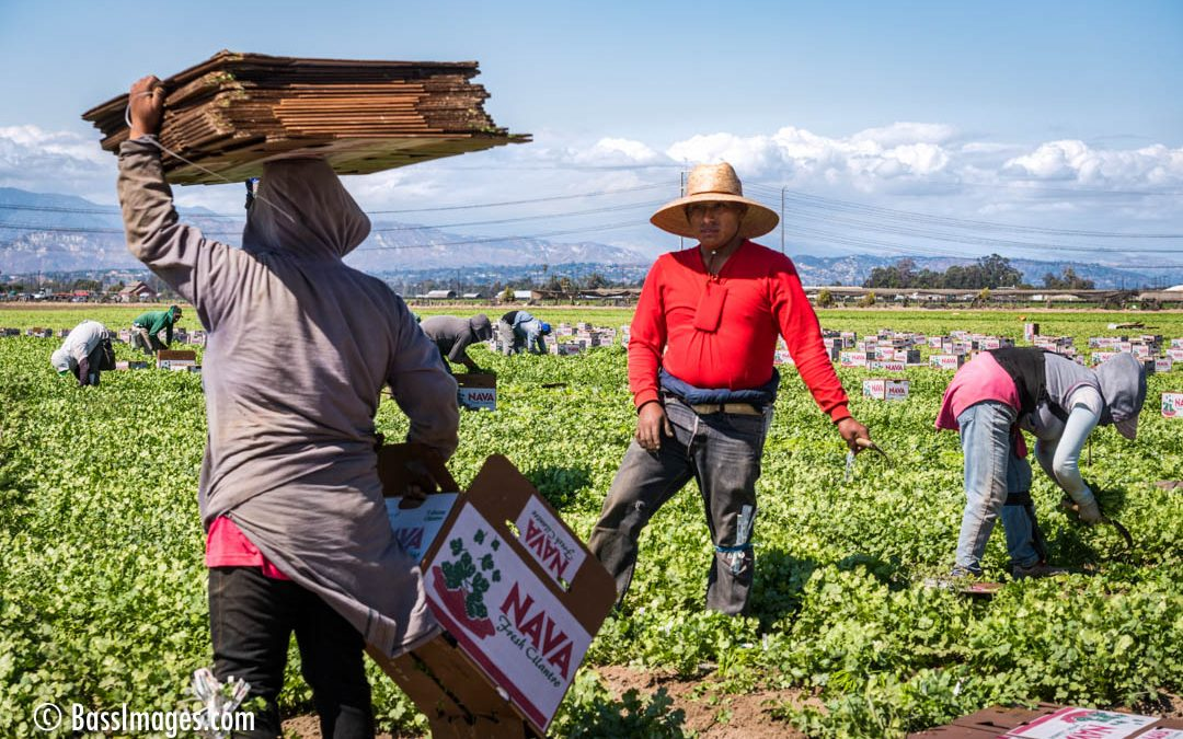 Harvesting Salad