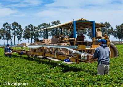 Harvest_Strawberries Oxnard_0198-2