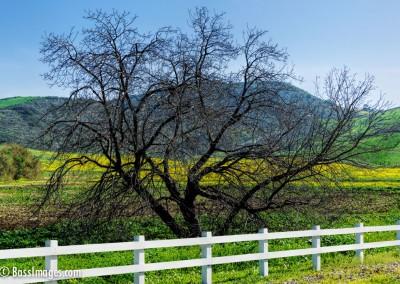 Joel McRea Tree with mustard