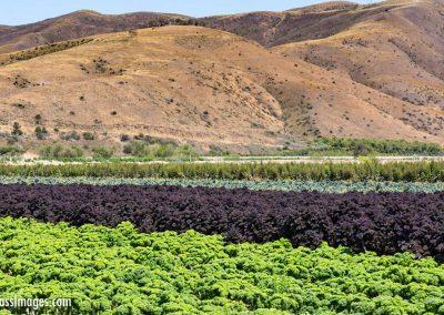 Kale field-1