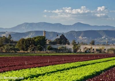 Lettuce field Mary Magdalene