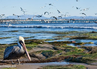 Pelicans_6796