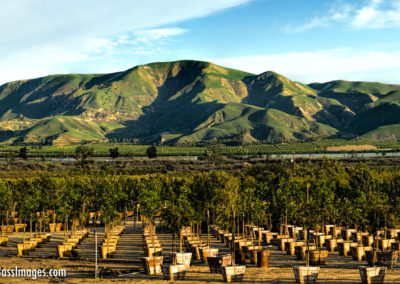 Santa Paula tree farm pano-1-2