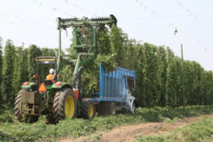 Harvesting Beer at Rogue Farms