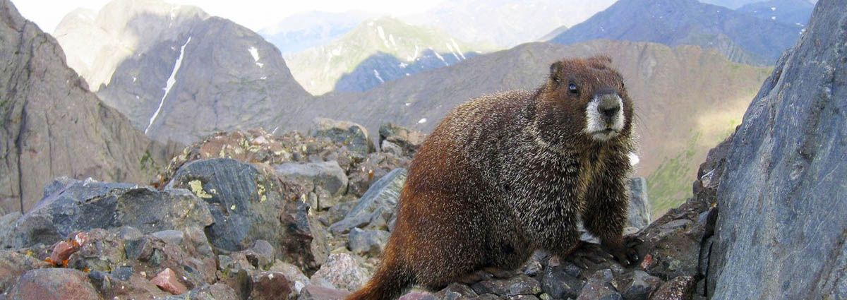 Marmot on the Roan Plateau in Rifle Colorado
