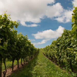 Vignobles Cheneau