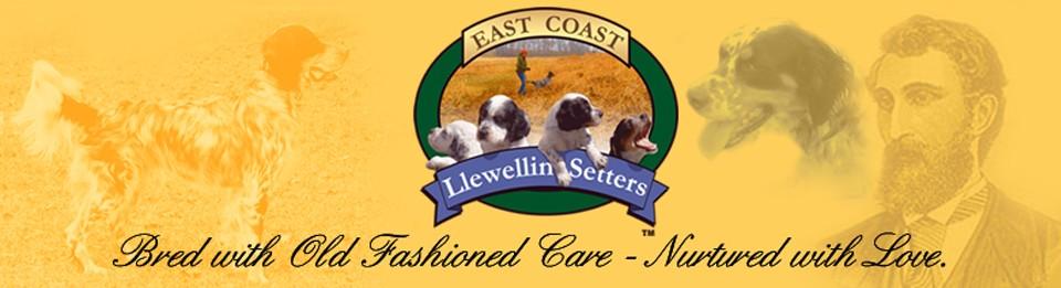 East Coast Llewellin Setters
