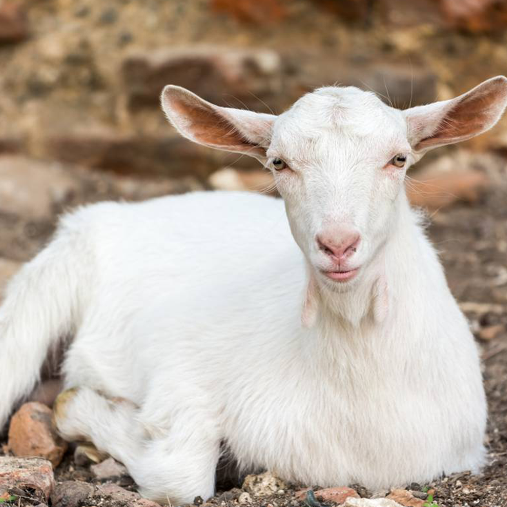 Goat products in surrey