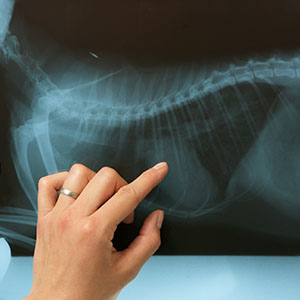 Veterinary surgeon examining X-Ray.