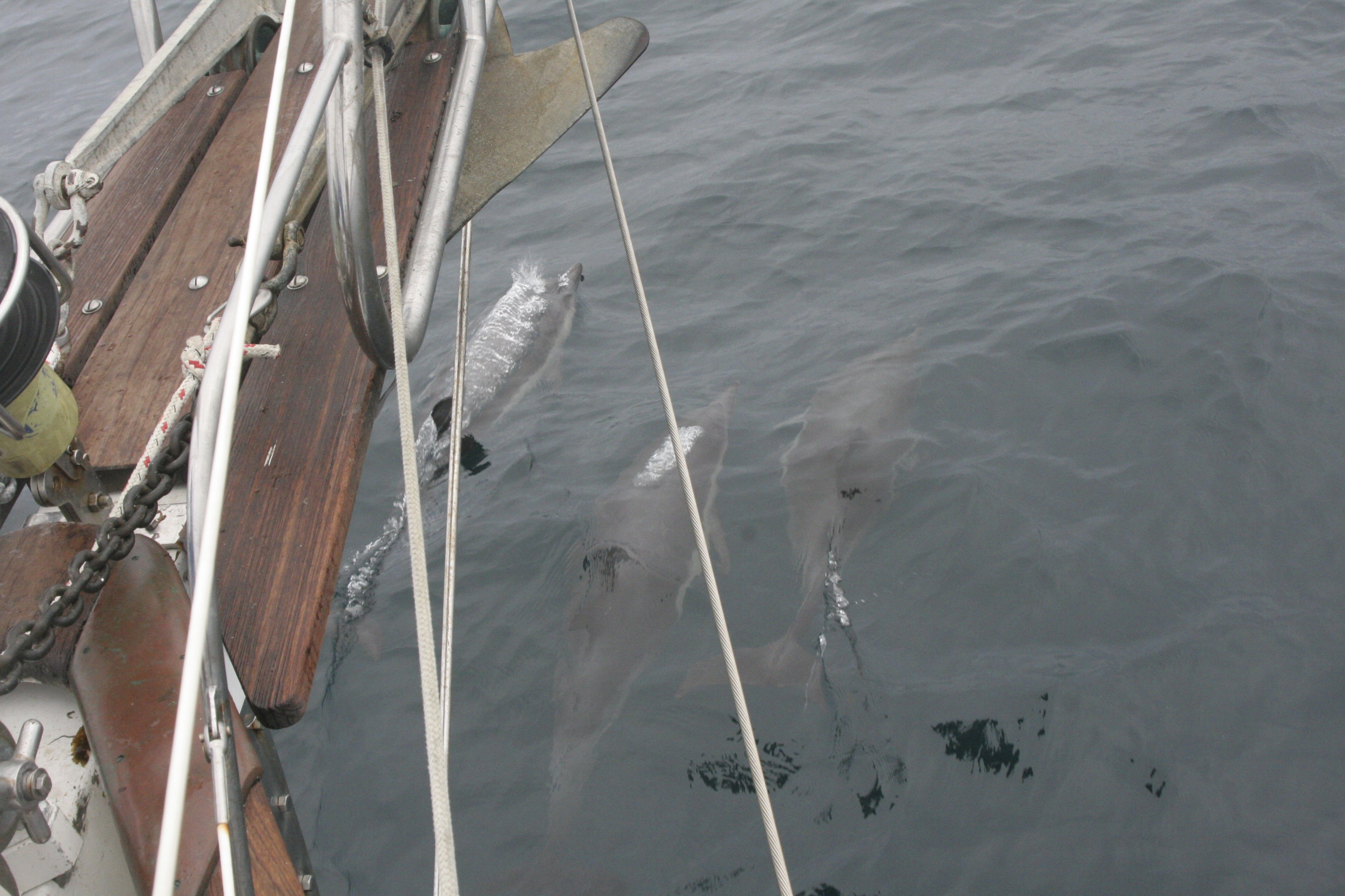 Dolphins on the bow Morro Bay