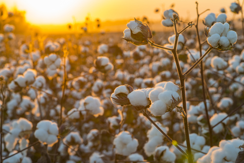 The Woman Inventor That Saved the Cotton Industry
