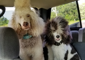 reiki and george poodle image