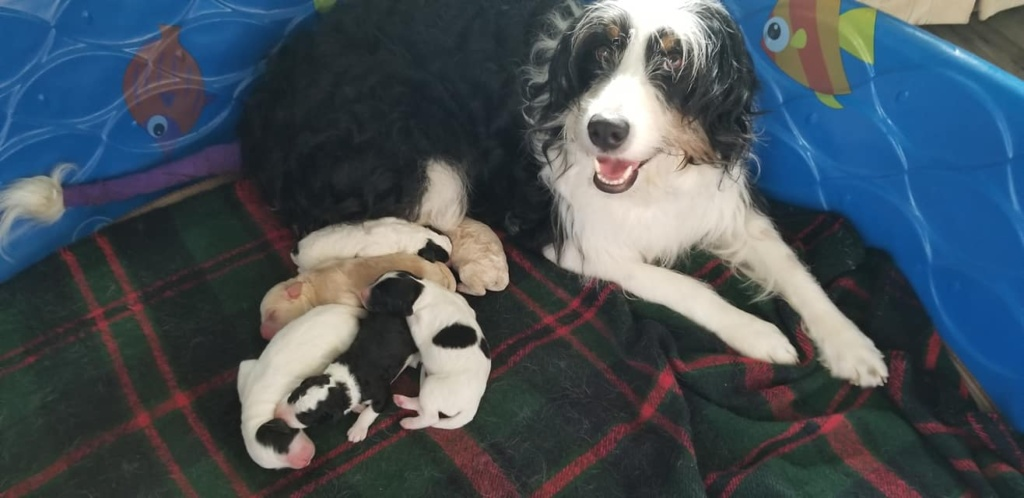 Bernedoodle puppies with mom