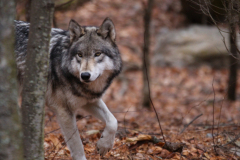 Wolf-Pic-1