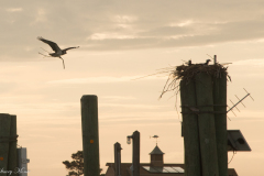 Osprey-and-Chick