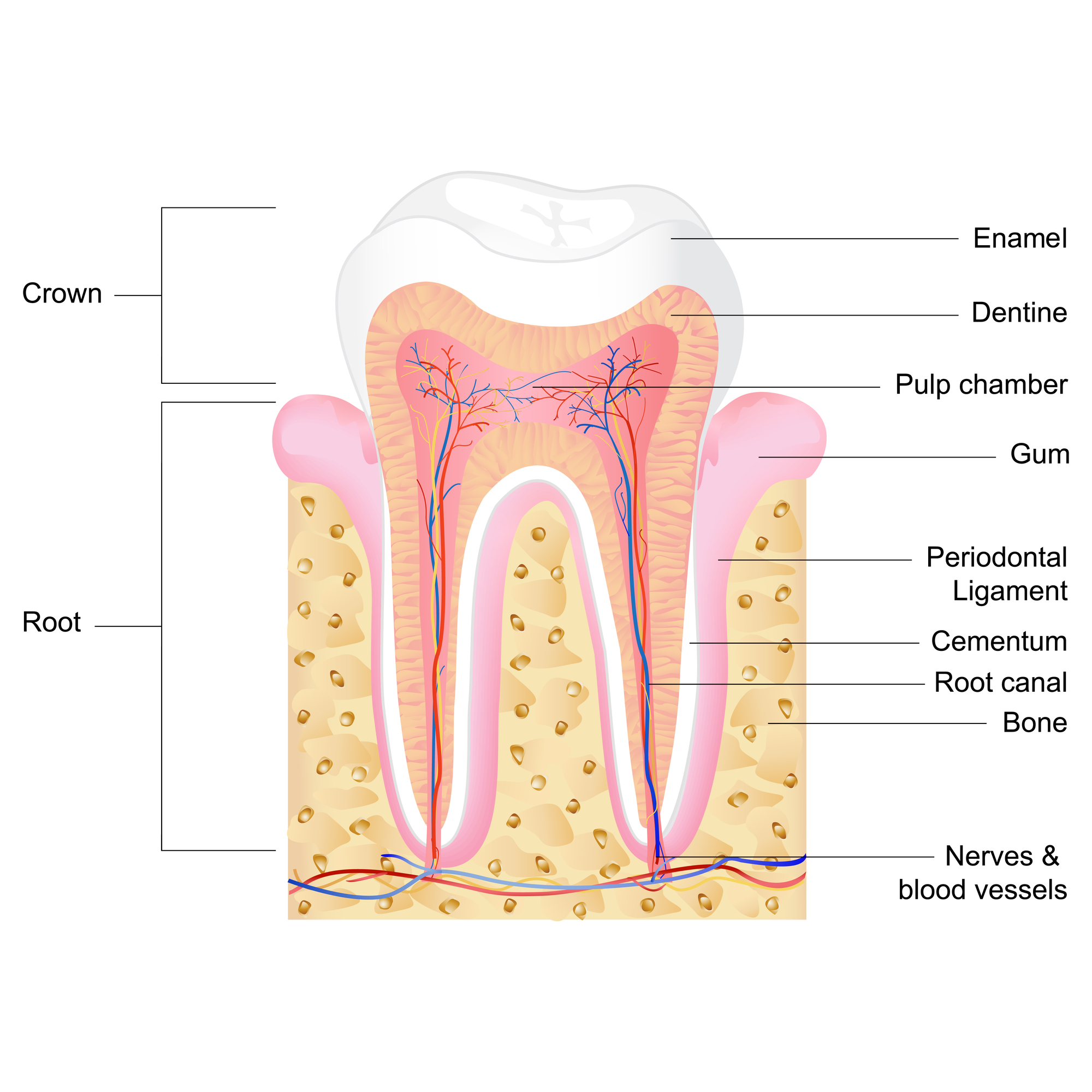 What is a root canal Jupiter?