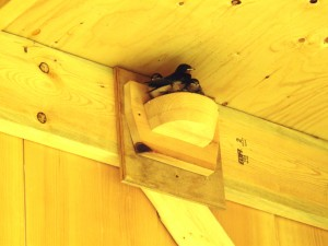 Barn swallows on nest cup
