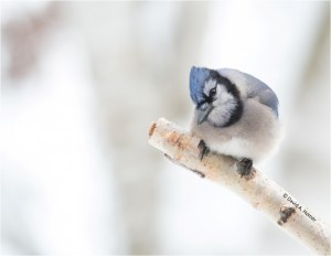 Photo of a Blue Jay by David A. Homer