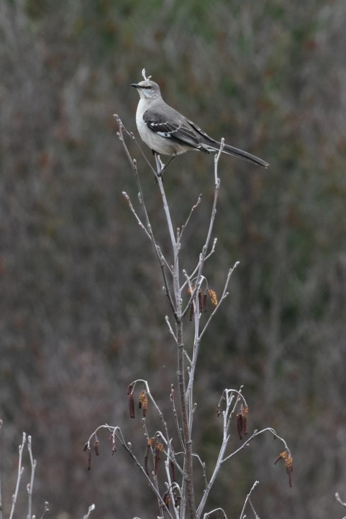 Northern Mockingbird at Black River Wildlands. Photo David J. Hawke.