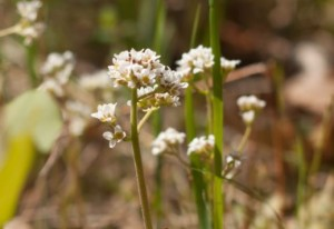 Field_Chickweed