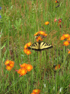 Canadian Tiger Swallowtail on Hawkweed