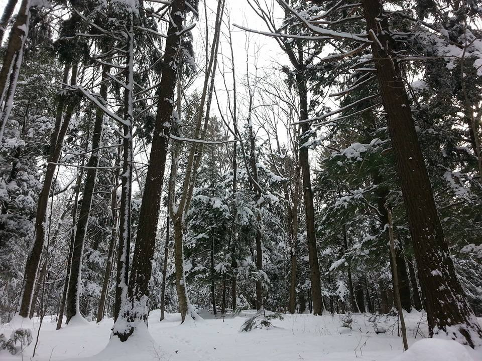 forest of tall trees in snow