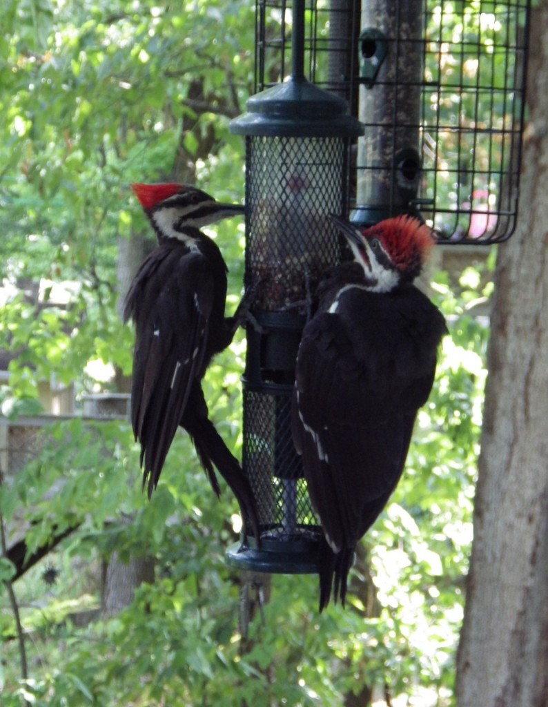 two woodpeckers on a bird feeder